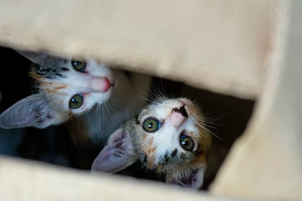 zwei Katzen gucken aus Öffnung im Karton