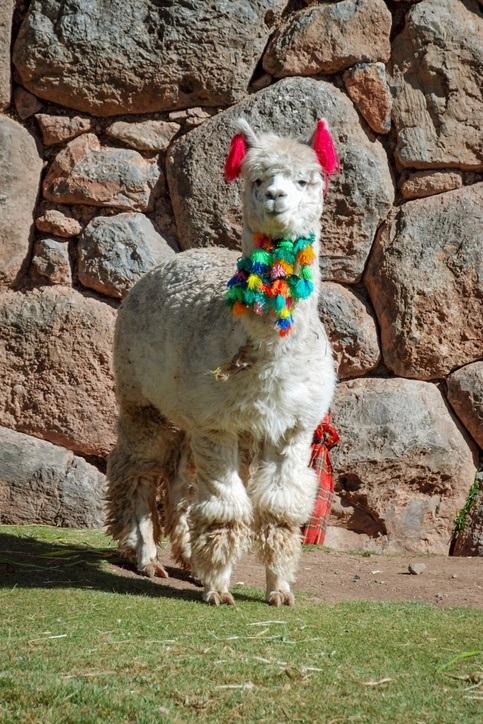 Ein weißes Lama